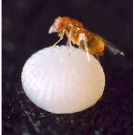 پرورش و تکثیر زنبور تریکو گراما